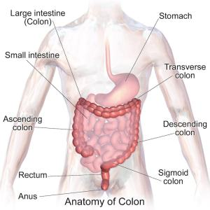 Detailed layout of the intestines, Colon and Large Intestines